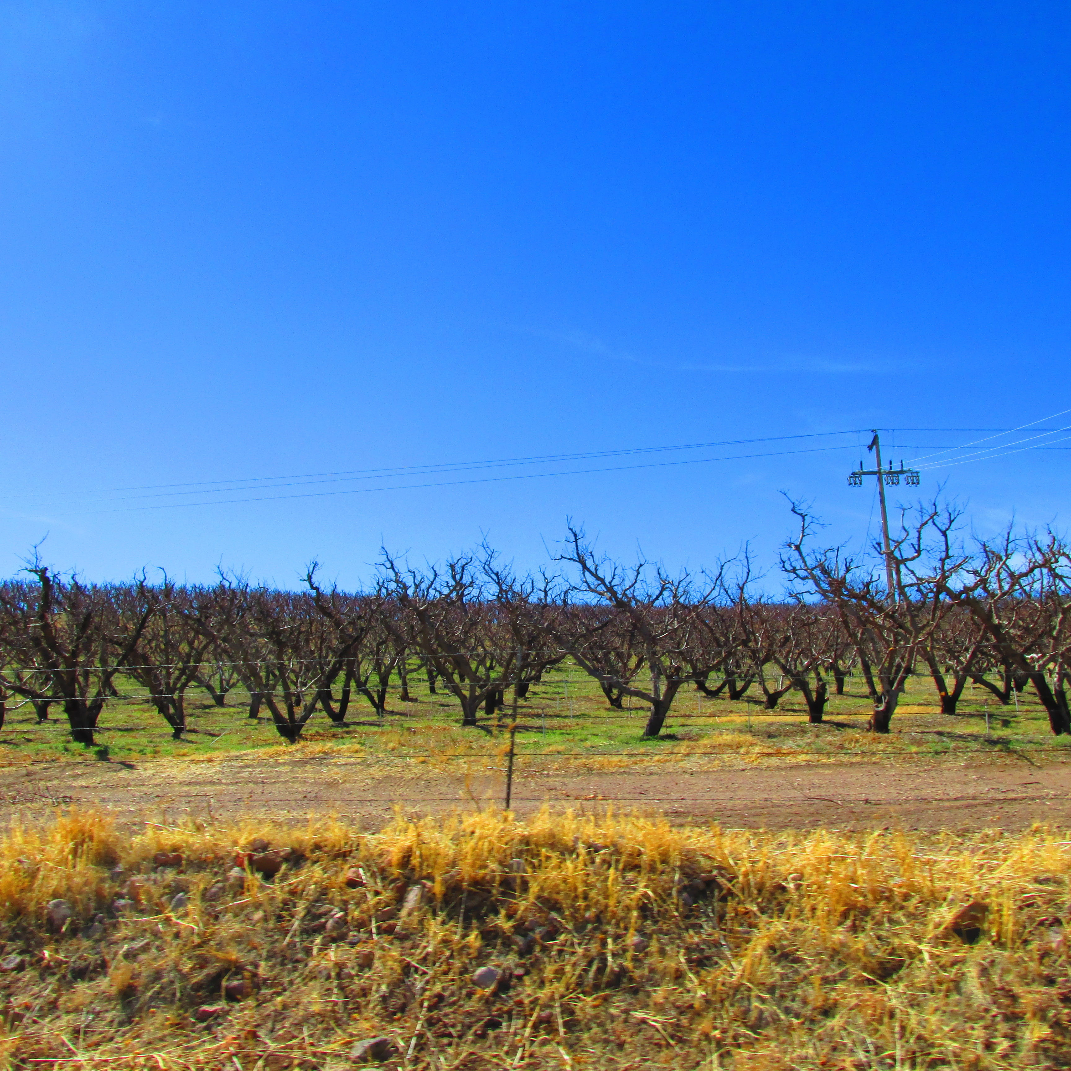 Orchards in Colonia Juarez